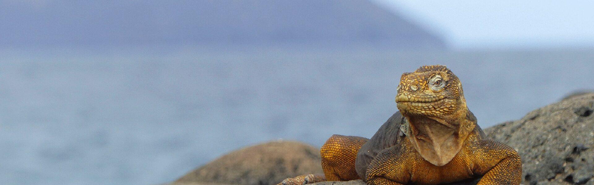 Exclusif - Séjour-évasion autour des îles Galápagos - 9J - Équateur 2021 - Iguane terrestre
